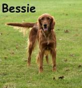 Bessie-Golden Irish